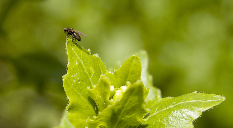 Scaptomyza nigrita, an herbivorous fly, poises atop its host plant, a mustard toxic to most other organisms. (Photo: Noah Whiteman)