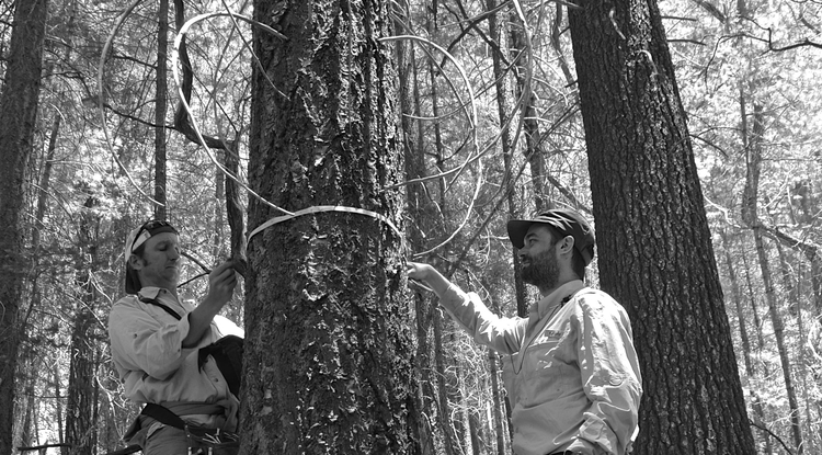 Brian Enquist (left) and Sean Michaletz measure the diameter of a large tree to test a new mathematical theory that assesses the relative importance of several hypothesized drivers of net primary productivity. (Photo: Enquist lab)