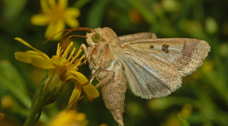 Only the caterpillars of the cotton bollworm (Helicoverpa armigera) are cotton pests. The adult moths drink nectar from flowers.