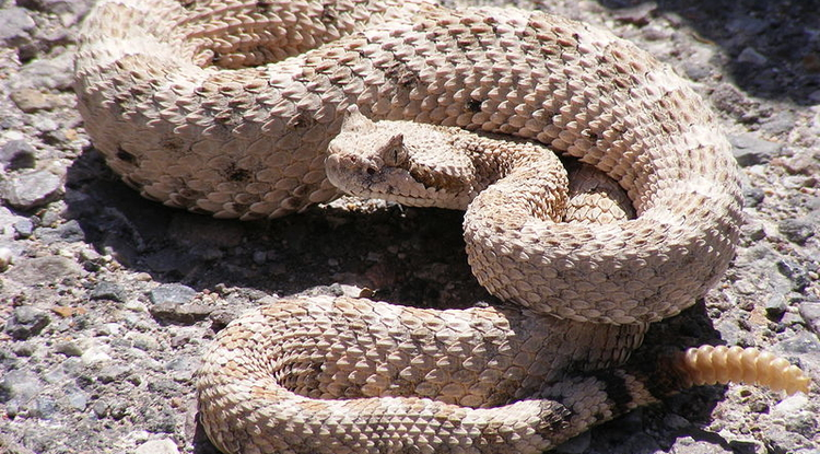 A horned rattlesnake exhibits its infamous defensive rattle at the end of its tail.