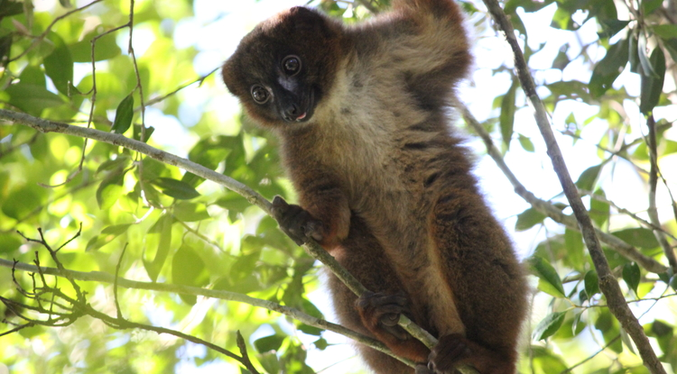 LemurFaceID recognizes lemurs' skin and fur patterns with nearly 99 percent accuracy. (Photo: Stacey Tecot)