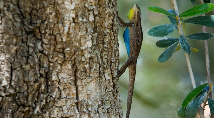 Tree lizards show off their colorful bellies while doing pushups to defend their territories. (Photo: Bob Demers/UANews)