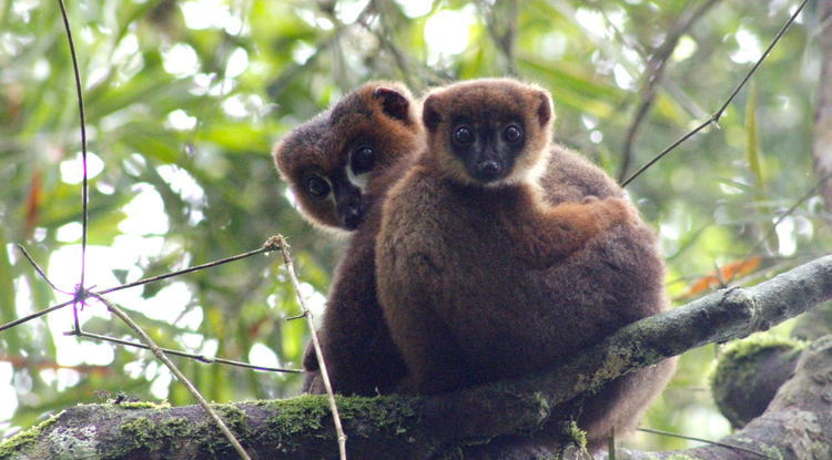 An adult male red-bellied lemur snuggles with his infant son. (Photo: Lahitsara Jean Pierre)