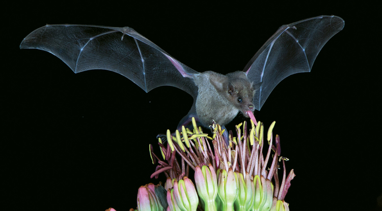 The lesser long-nosed bat is an important pollinator of cactuses in the Southwest. (Courtesy of Bruce D. Taubert/Bat Conservation International)
