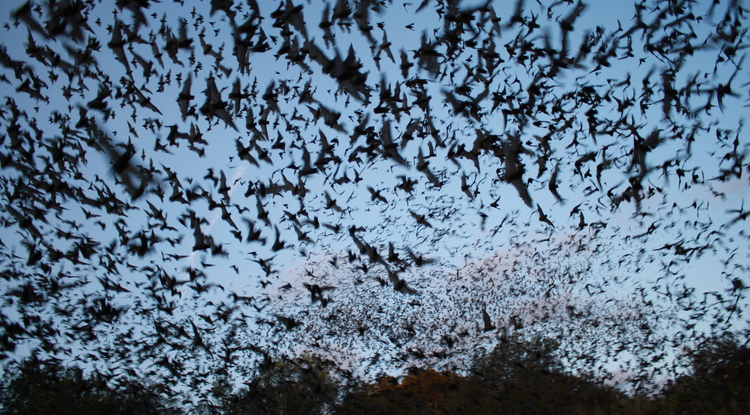 Mexican free-tailed bats exiting Bracken Bat Cave in Texas, summer home to the largest bat colony in the world. (Photo: Ann Froschauer/U.S. Fish and Wildlife Service)