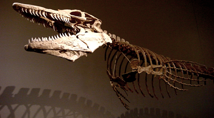 New research sheds light on the evolutionary relationships of living and extinct reptiles. This skeleton belonged to a mosasaur, a carnivorous marine lizard that died out with the dinosaurs 65 million years ago. (Credit: Wikimedia Commons)