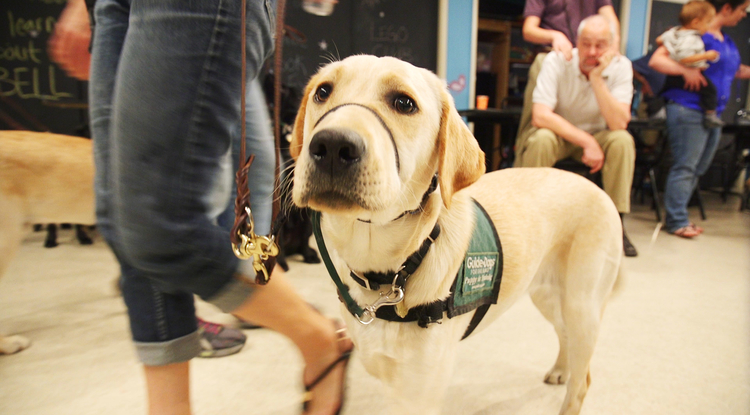 The UA's Paws for the Cause partners with a nonprofit organization, Guide Dogs for the Blind, based in California and Oregon. (Photo: Bob Demers/UANews)