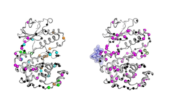 The inactive form (left) of the MAPK p38 enzyme moves in an uncoordinated fashion. Once the necessary molecules (blue blob and P symbols) bind, the enzyme becomes active (right) by moving in a coordinated fashion to do its job inside a cell. (Credit: Senthil Ganesan, UA Department of Chemistry and Biochemistry)