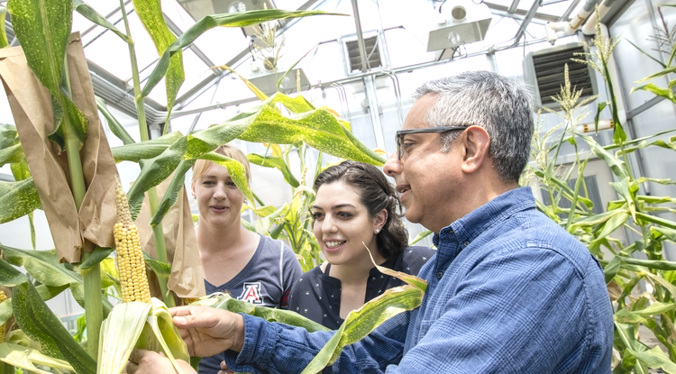 Ramin Yadegari, professor of plant sciences, holding an ear of maize, notes that pollination has produced kernels and discusses the stages of kernel development with students Tricia Ramsay, biochemistry and molecular and cellular biology with plant sciences minor, and Daniela Gutierrez, microbiology. (Photo: Lynn Ketchum)