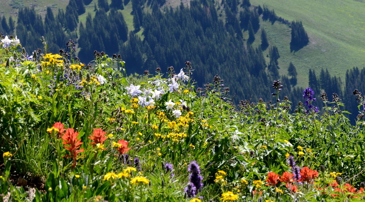 Over four decades, researchers have documented when flowers are in bloom at the Rocky Mountain Biological Laboratory. (Photo: David Inouye)