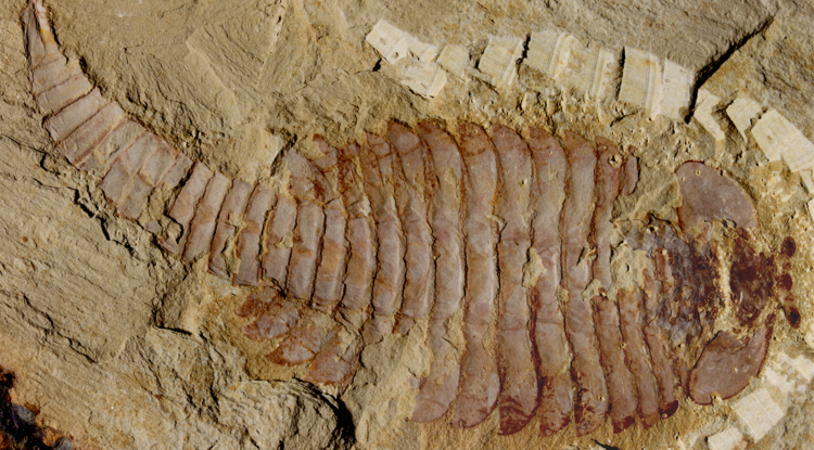 The original 520-million-year-old Fuxianhuia protensa specimen from the Chenjiang fossil beds in southwest China reveals the ancient arthropod was just shy of five inches. (Photo courtesy of Xiaoya Ma, London Museum of Natural History)