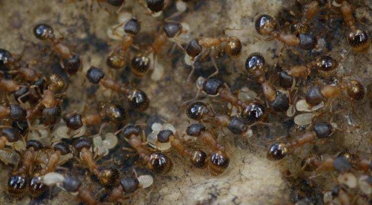 Temnothorax rugatulus ant colony (Photo: Daniel Charbonneau)