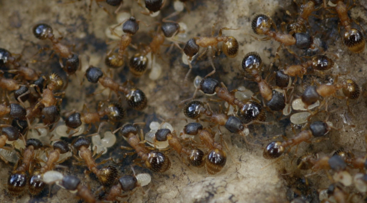 Temnothorax rugatulus ant colony (Photo: Daniel Charbonneau)