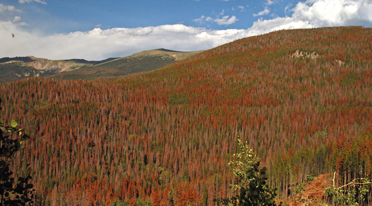 Bare branches and rust-colored foliage denote dead and dying trees in the Colorado's Front Range. (Copyright Daniel Griffin)