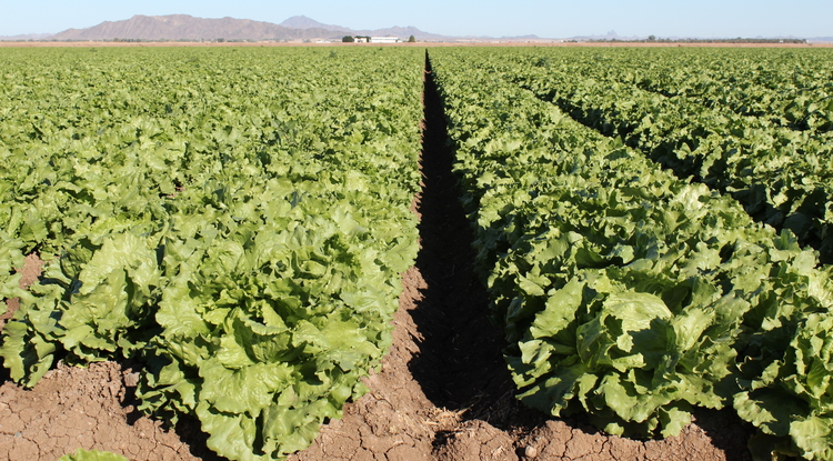 Yuma County's leafy greens serve as the winter salad bowl for the U.S. Produce safety is one of the components of the UA's new food safety undergraduate degree program curriculum. (Photo: Debbie Reed)