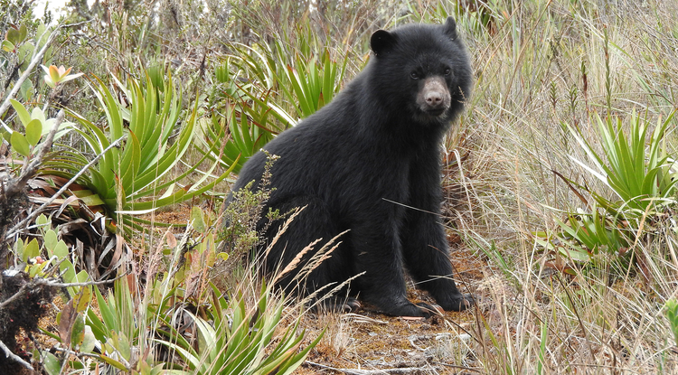 Andean bear cub (Photo: Angela Parra)