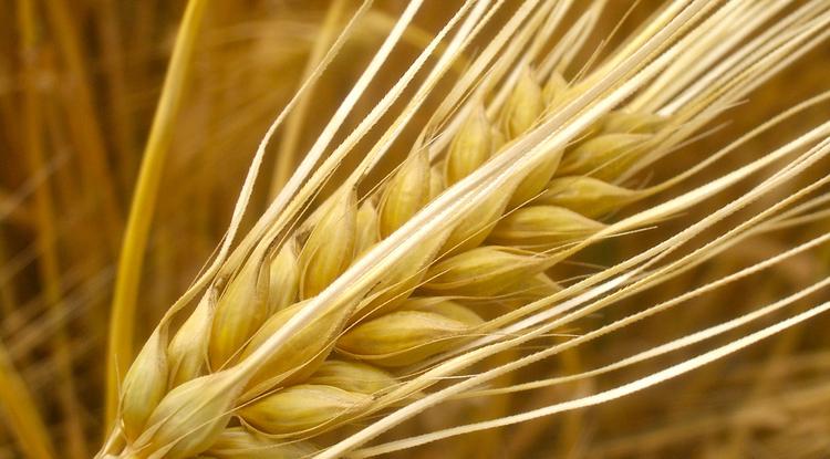 Barley has more genes than humans. (Photo: Alexander von Halem)