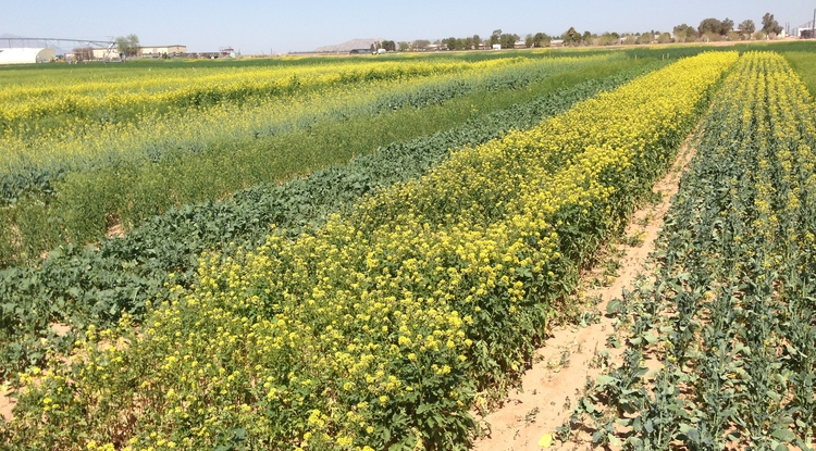 "Brassica napus produced a bitter oil unfit for human consumption, until Canadian researchers bred a variety known as ""Canadian Oilseed, Low-Acid"" – or canola for short. Pictured here are rapeseed oil plants in Yuma, Arizona. (Photo by Eric Lyons)"