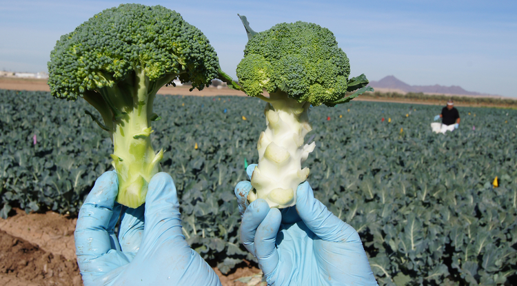 "Broccoli crowns harvested from a sweet potato whitefly trial. The chlorotic ""blanched"" crown on the right was harvested from a plant heavily infested with whiteflies. The green ""normal"" crown on left was whitefly-free.  (Photo by John Palumbo)"