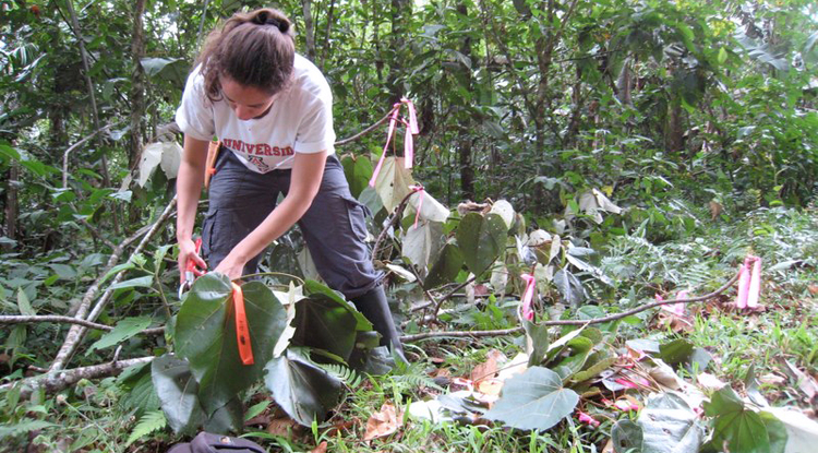 A researcher on Brian Enquist's team measures traits such as leaf size and branch length in a tropical rainforest.