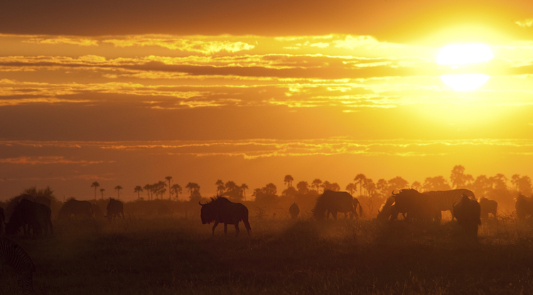 Driven by the concern that most land is under some form of human use or occupation, the scientists participating in SPARC want to take advantage of what they call the closing window of opportunity to influence the placement of future land purchases and conservation efforts. The photo shows a herd in Botswana at sunset. (Photo: Conservation International)