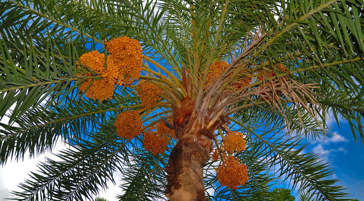 The date palm tree is the focus of One Million Date Palm Trees Project in Oman, where the crop plays an important role in the cultural history and economy of the country.  (Photo: Balaram Mahalder, CC-BY-SA-3.0)