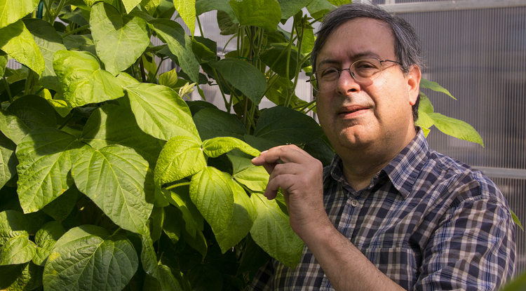 Using conventional breeding methods, Eliot Herman of the UA School of Plant Sciences and his collaborators have produced a soybean plant low in allergen and anti-nutritional proteins. (Photo: Monica Schmidt)