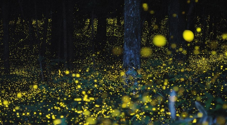 Nature inspires technology: One of the apps is modeled after fireflies' ability to synchronize their flashes. (Photo: Tsuneaki Hiramatsu)
