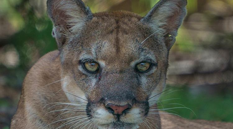 A female Florida panther is photographed in the wild at Audubon's Corkscrew Swamp Sanctuary. (Photo courtesy of Carlton Ward Jr. @carltonward)