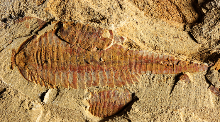 This image shows the dorsal view of Fuxianhuia protensa. The three-inch-long fossil was found in sediments dating from the Cambrian Period 520 million years ago in what today is the Yunnan province in China. Parts of the gut are visible as dark stains along the animal's midline. (Photo: Xiaoya Ma)