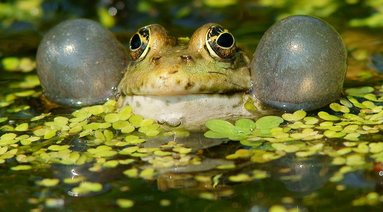 Frogs, like mammals, originated as predominantly nocturnal animals, but maintained the ability to communicate acoustically after switching to being active during the day. (Photo: Peter Trimming)