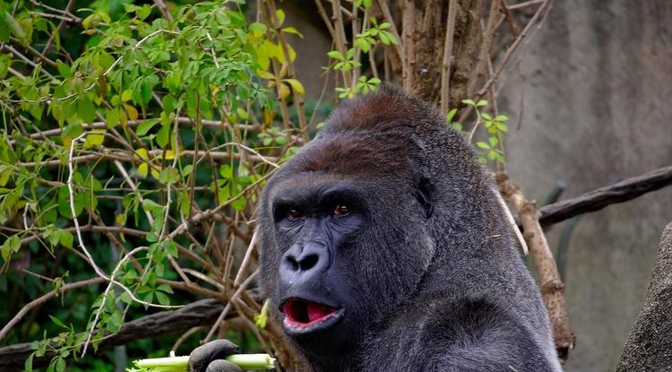 can chimpanzees talk