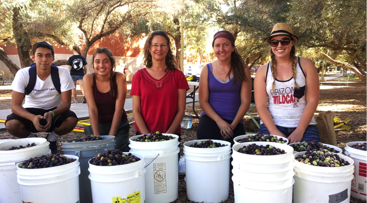 From left: Undergraduate volunteer Michael George Bernal, undergraduate intern Tori Scaven, LEAF co-PI Melanie Lenart, and undergraduate LEAF interns Ashley Hodes and Haley Anderson show off the olives picked at the harvest on Nov. 11.  (Photo: Ann Posegate)