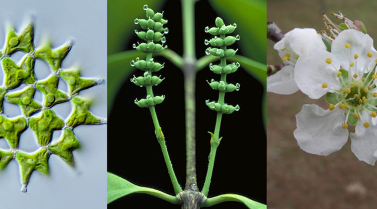 Three representatives showing the diversity of plants: On the left is Lacunastrum gracillimum, a green alga. The middle image shows female cones of Gnetum gnemon, a representative of the gymnosperms, the group that includes conifers and gingko trees. Gnetum is an unusual gymnosperm in that it produces a seed enclosed in a juicy, fruit-mimicking layer. On the right is a flower from a cherry tree, Prunus domestica. (Photos: Michael Melkonian and Walter S. Judd)