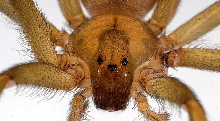 Loxosceles laeta, a South American brown spider, is one of three species whose venom was tested by UA researchers and found to produce a different chemical product than scientists previously believed. (Image: Jonathan Coddington)