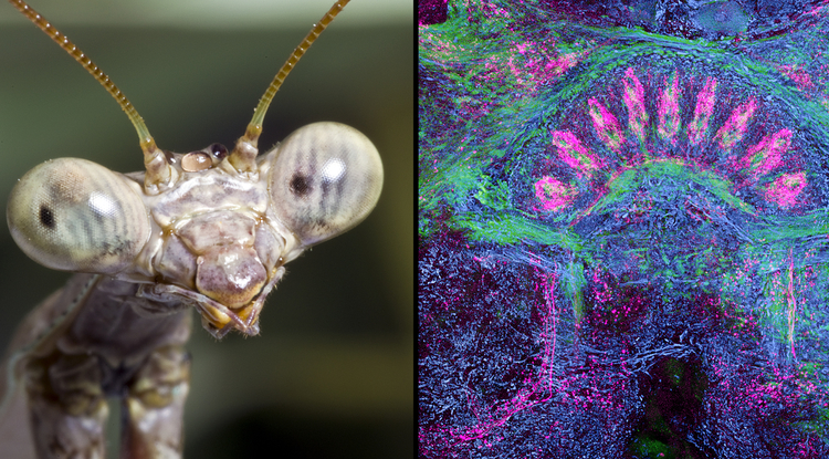 The brain of a praying mantis, one of the most dexterous of insects, possesses what is perhaps the most exquisitely structured central complex, revealing 9 distinct modules when visualized under a microscope (right). (Image on the left by Charles Hedgcock (charles@charleshedgcock.com); image on the right by Gabriella Wolff/UA Department of Neuroscience)