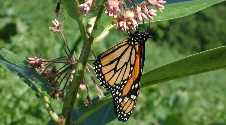 The monarch butterfly is one species adapted to feeding on milkweeds, plants that produce the potent toxin, digitoxin. (Image courtesy of Anurag Agrawal)