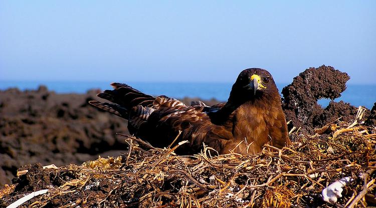 A Galápagos hawk nesting on Isla Fernandina, Galapagos. (Photo by Noah Whiteman)