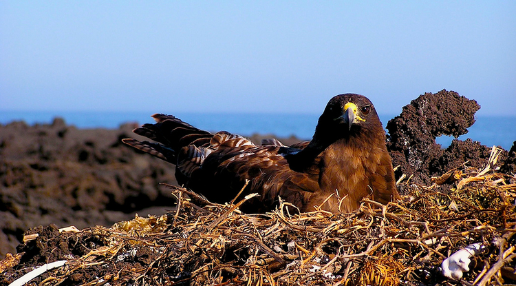 A Galápagos hawk nesting on Isla Fernandina, Galapagos. (Photo by Noah Whiteman)