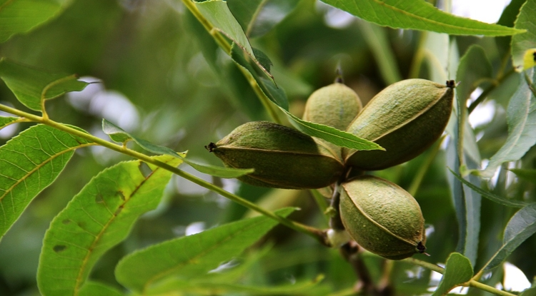 Tree Nuts Help Drive Arizona Agriculture Economy, Study Finds - UANews