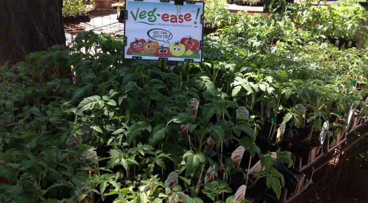 "Grafted Growers, started by students in the UA's McGuire Center for Entrepreneurship, markets grafted vegetable plants under the name ""Veg-Ease"" to home gardeners and commercial growers."