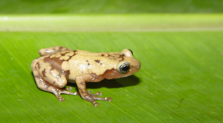 The common giant tree frog from Madagascar is one of many species impacted by recent climate change. (Photo: John J. Wiens)