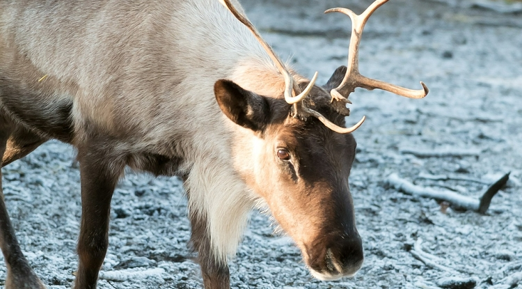 Reindeer have a special place in holiday folklore.