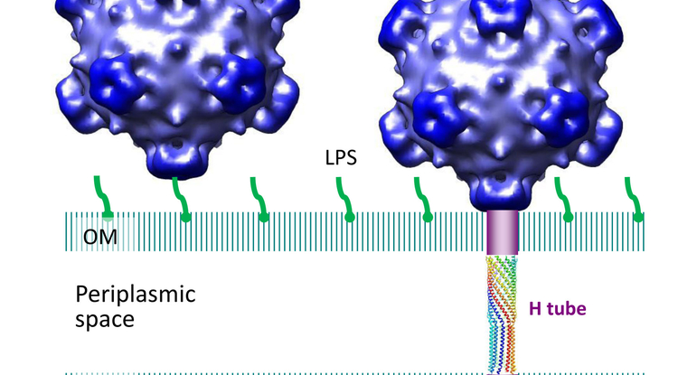 "Researchers have discovered a tube-shaped structure that forms temporarily in a certain type of virus to deliver its DNA during the infection process and then dissolves after its job is completed. The tube is long enough to span the inner and outer cell membranes of an E. coli bacterium, bridging the ""periplasmic space"" in between. (Image: Lei Sun/Purdue University)"