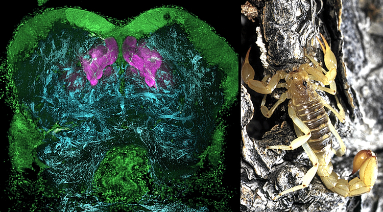 "Memory centers called mushroom bodies in the forebrain of a scorpion, revealed here by antibodies against ""memory protein"" and shown in magenta. (Photos: Left: Gabriella Wolff; right: Chip Hedgecock)"