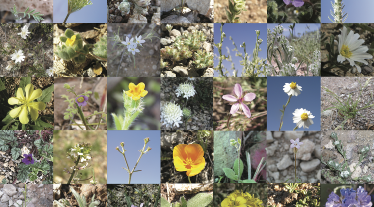 More than 50 species of desert annuals are in bloom around Tucson this month. The low-growing plants range from the size of a dime to more than a foot tall.
