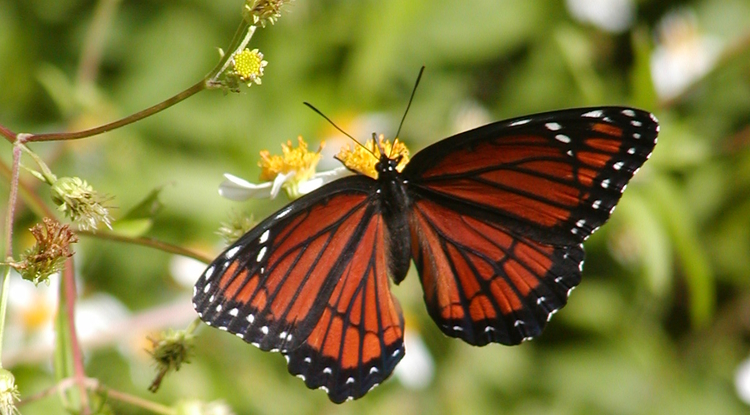 The sometimes disgusting viceroy butterfly, Limenitus archippus. (Photo: Jeff Oliver)