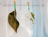Regular spinach leaf, left, and one that is being decellularized. In the lab, all traces of plant cells, DNA and proteins are removed through a process called decellularization. Different types of cells then are used to repopulate the skeleton of the leaf and re-cellularize the leaf's surface.