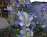 """""""In the summer of 2015, a rainwater garden was put in front of our office by the Master Gardener program. The picture is a Rocky Mountain columbine taken by Brian Moody last summer."""" – Brandie Gobble, office specialist at Coconino Cooperative Extension in Flagstaff (photo by Brian Moody, program coordinator)"""
