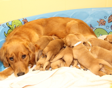 Mother dogs' nursing style is one factor that seems to predict their offspring's success in guide dog training. (Photo courtesy of The Seeing Eye)